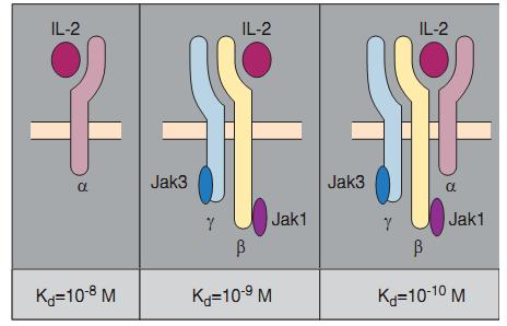 цитокины и ингерфероны презентация