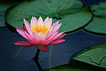 Lily pad lotus flower-5.jpg