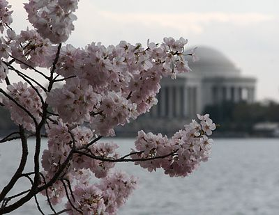 Traditional Japanese view of the cherry blossoms (sakura) with reflecting water and a shrine (the Jefferson Memorial) in Washington, D.C..