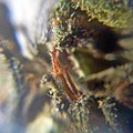 Cannabis Pistils & Trichomes as seen under DIY macroscope5.jpeg