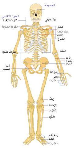 عضلة الظهر عضلة مهمه جداً لانها تعطي الجسم عرضاً رائعاً و تقسيم عضلات الظهر  يجعل الجسم يبدو رااائع تمارينها : تمارين الظهر تعتمد على مجموعه واسعه من  الآلات ...