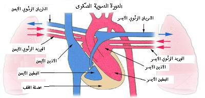 رسم يوضح حركة الدم بين القلب والرئة.