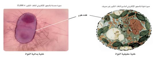 حجم الخلية البدائية النواة عن اليسار أصغر وأقل تعقيدًا من الخلية الحقيقية النواة عن اليمين. تم تكبير الخلية البدائية النواة لغرض المقارنة