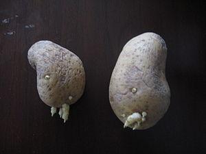 بطاطس 300px-درنتا_ب�
