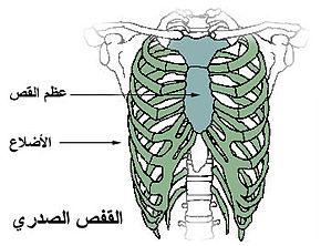 هيكل عظمي بشري 290px-Thoracic_cage