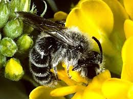 Discover Life,s bee species guide and world checklist, Ascher and Pickerinq.2014}}