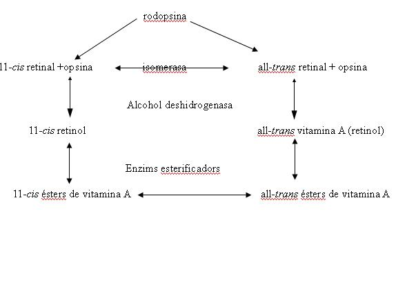 Diagrama del sistema de la rodopsina; adaptació de l'article George Wald, Molecular basis of visual Excitation