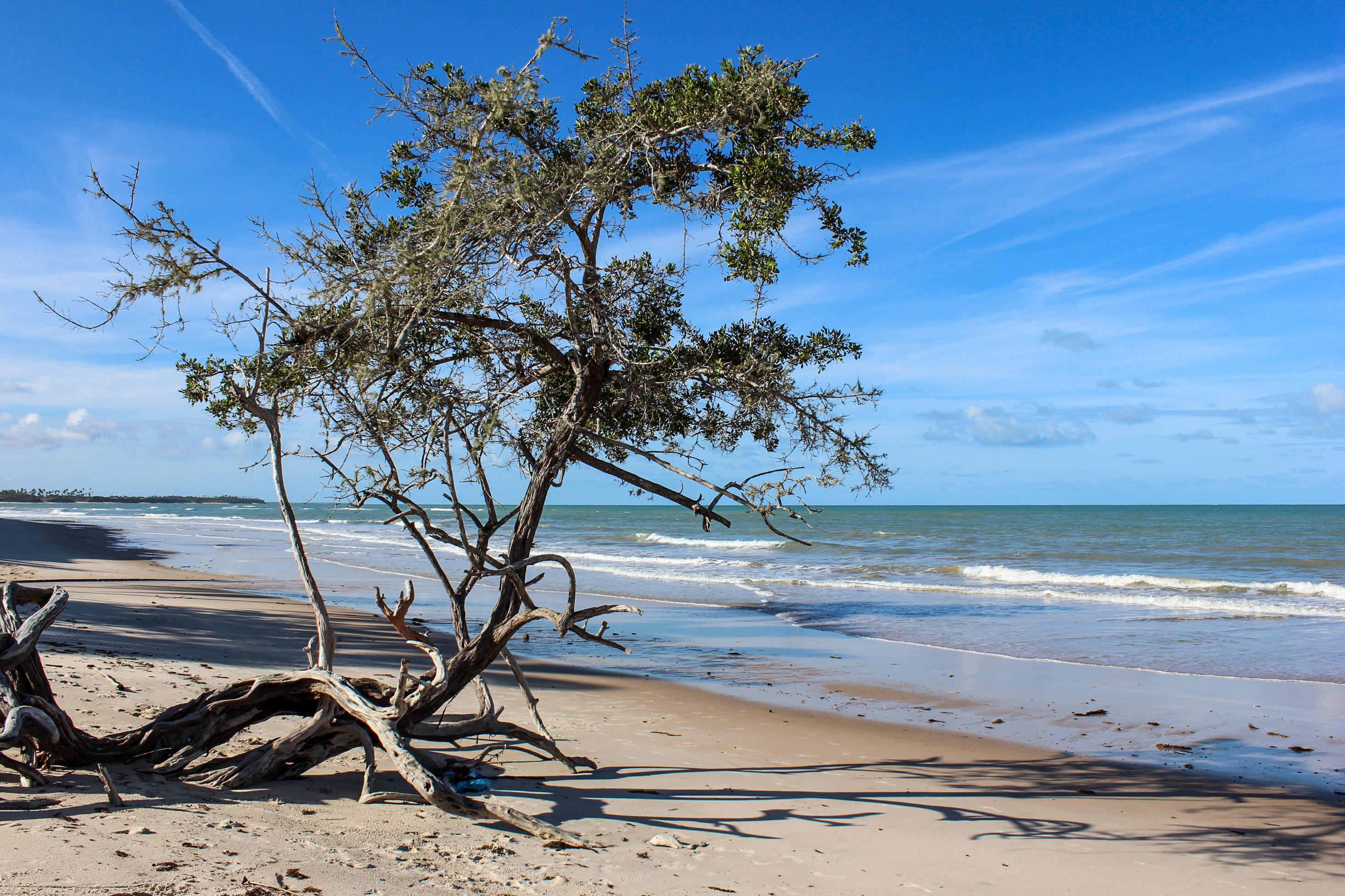 Ba Stock Chart: Árvore retorcida na Praia de Cumuruxatiba Prado - BA.jpg ,Chart