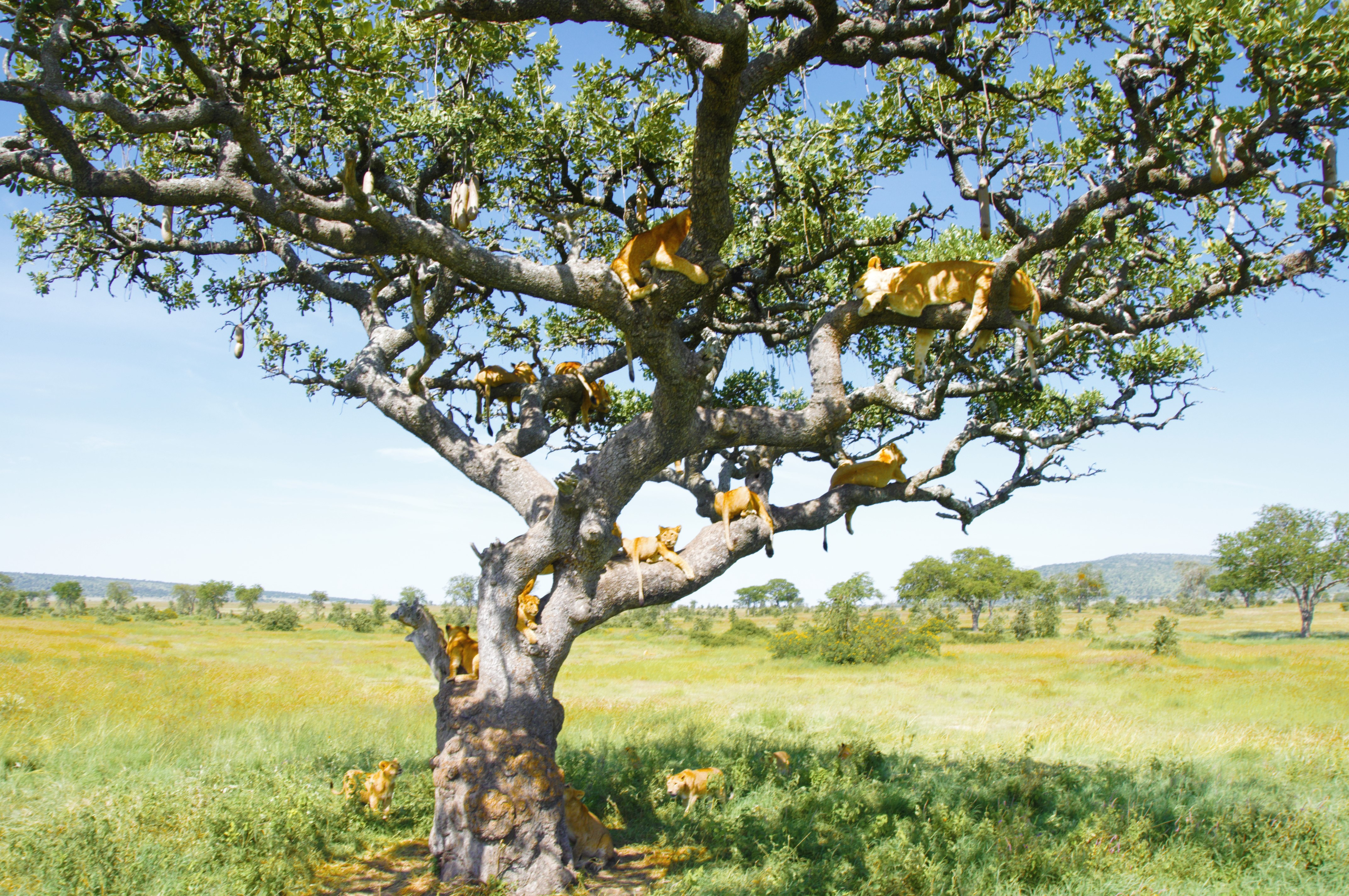file a group of lions on the tree in the serengeti prairies jpg