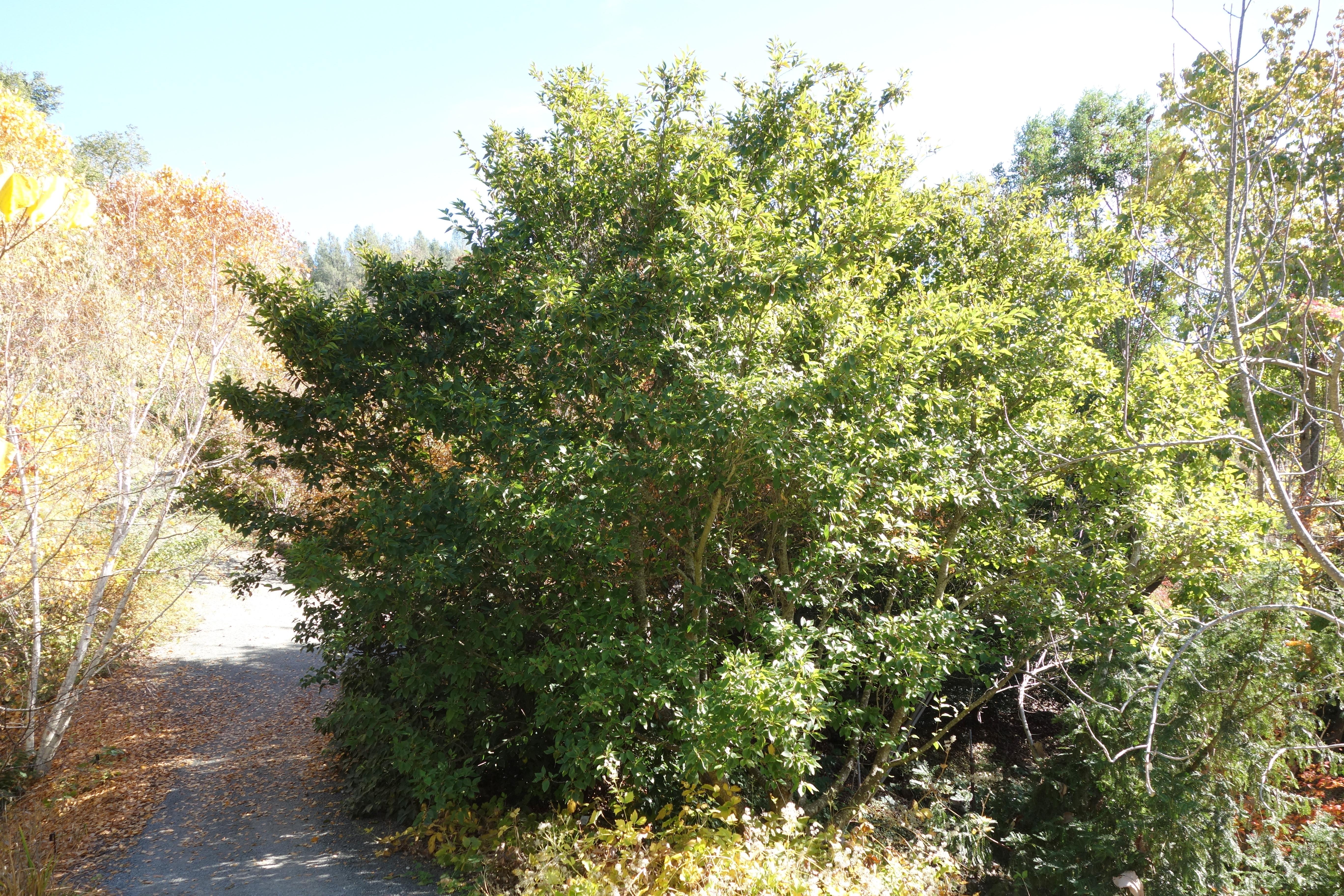 filealnus firma quarryhill botanical garden dsc03626jpg - Quarryhill Botanical Garden