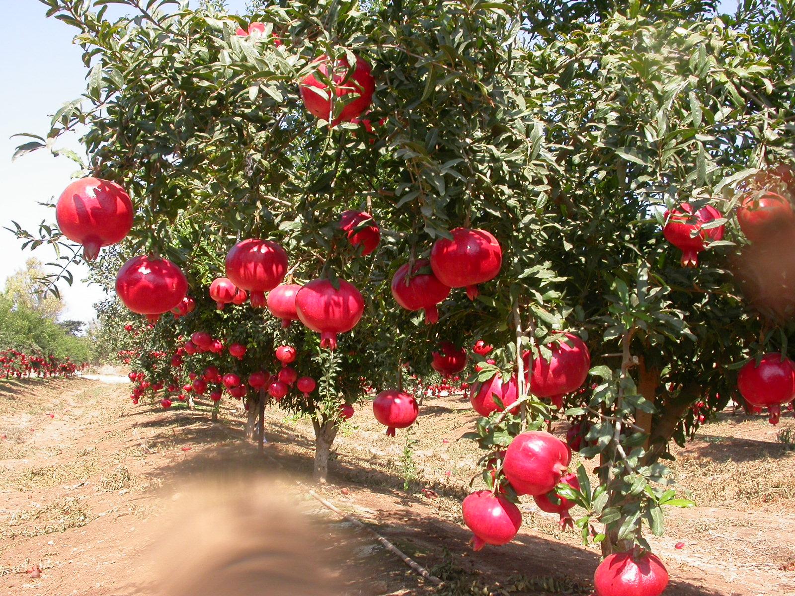 Risultati immagini per pomegranate tree