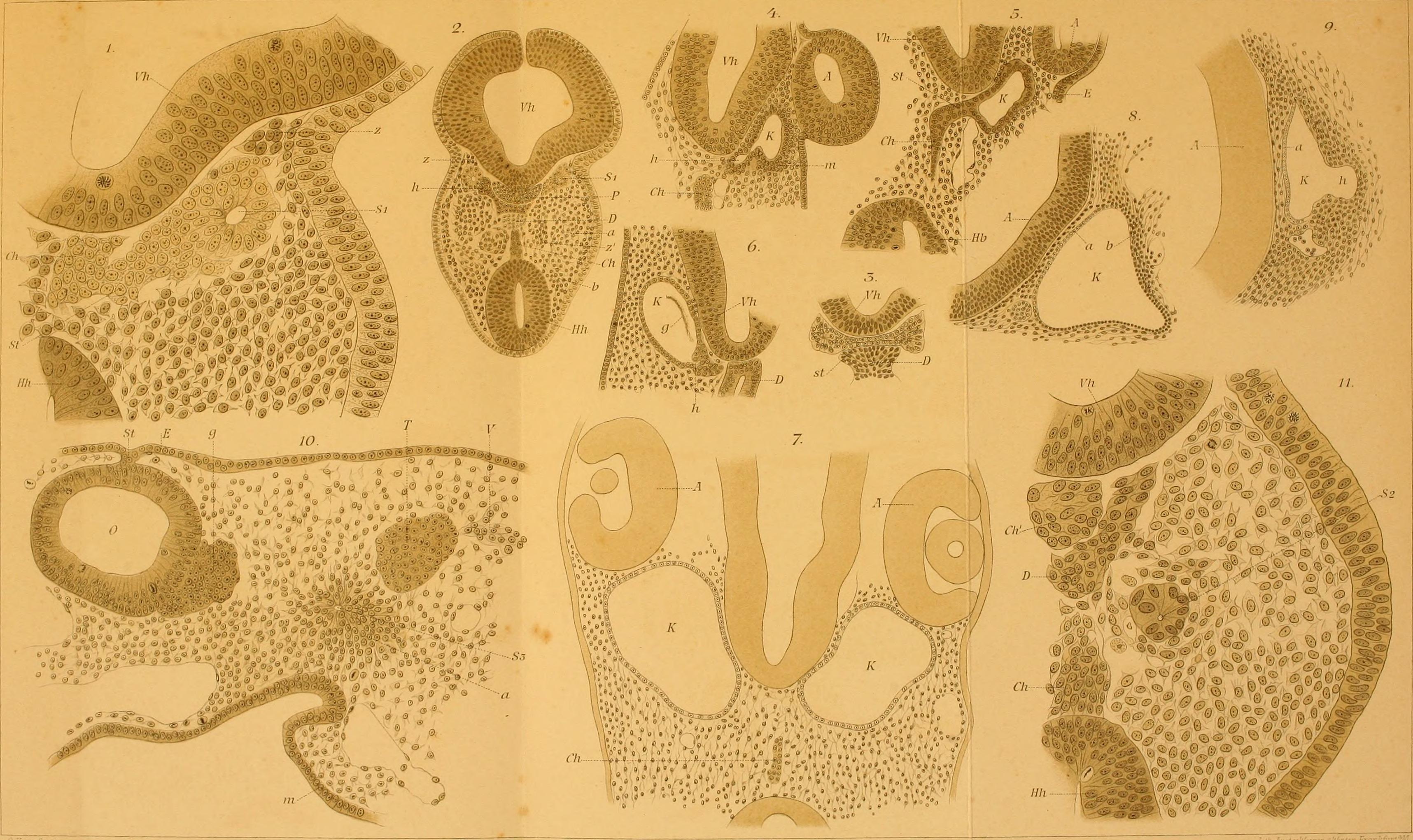 File:Archiv für mikroskopische Anatomie (1865) (20140790020).jpg ...