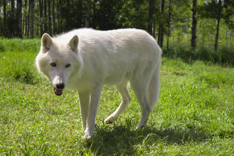 Canis lupus arctos arctic wolf aug arctic wolf white arctic wolf baby arctic wolf arctic timber wolf arctic wolf howling arctic wolf national geographic black arctic wolf arctic wolf pet arctic wolf eyes arctic wolf for kids arctic wolf planet zoo cute arctic wolf arctic wolf location schleich arctic wolf all about arctic wolves arctic wolf animal arctic foxes wolf arctic wolf with blue eyes arctic wolf wolves arctic w arctic wolf and arctic fox arctic fox and arctic wolf arctic snow wolf about arctic wolf an arctic wolf arctic wolf howling at the moon female arctic wolf arctic wolves for sale arctic fox and wolf arctic wolf kingdom arctic wolf cute arctic wolf zoo arctic wolf rov canadian arctic wolf