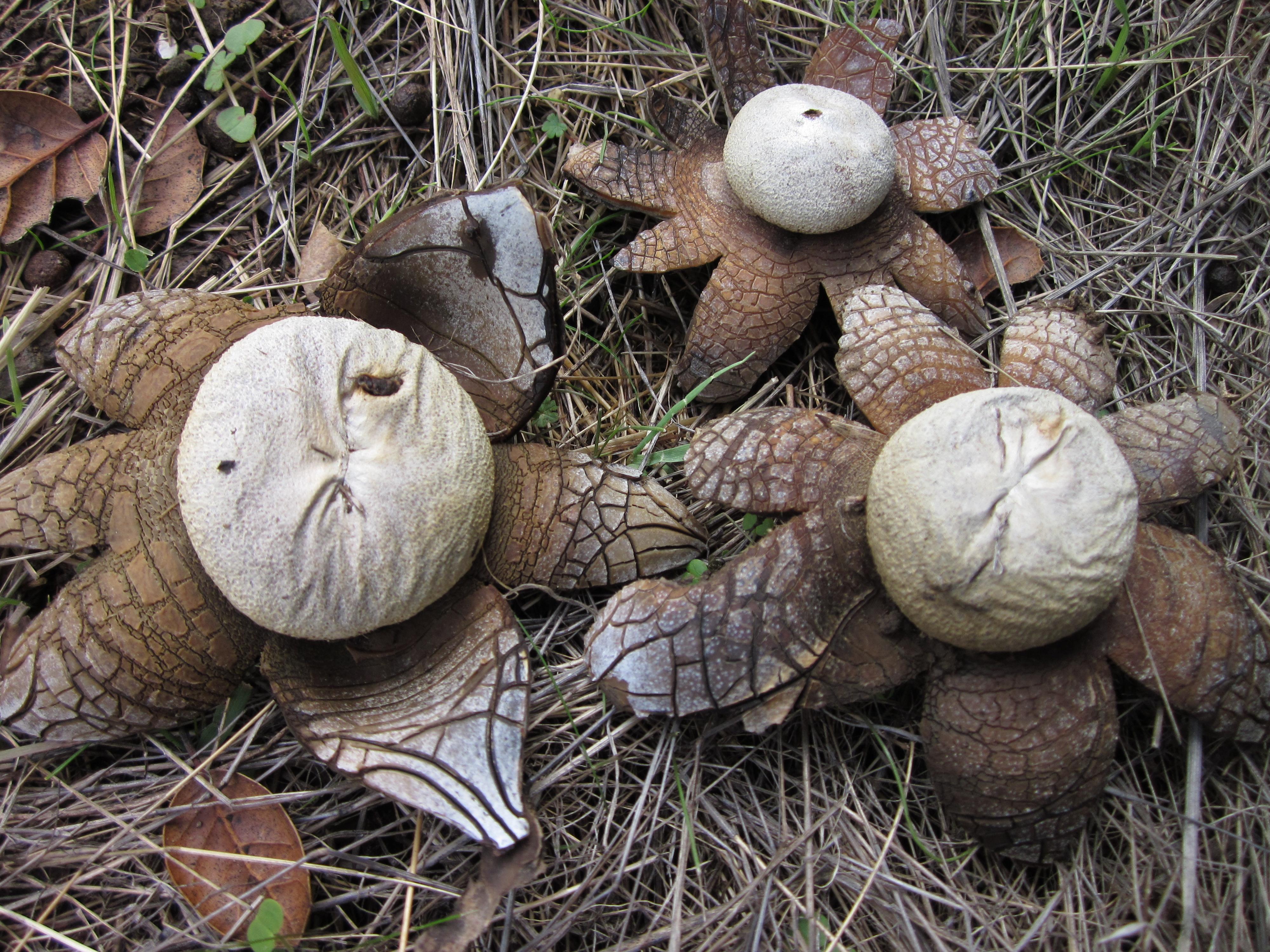 Astraeus hygrometricus - Wikipedia