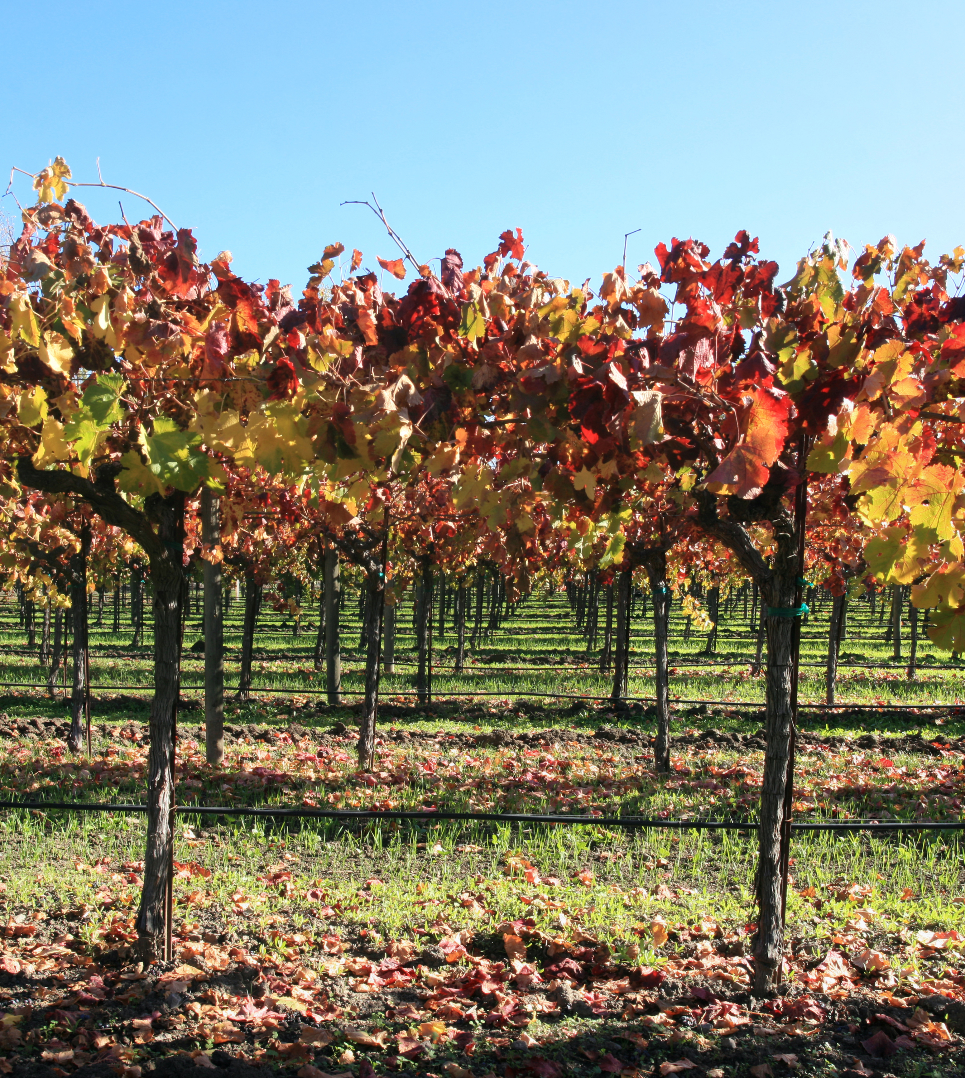File Autumn Vineyard In Napa Valley 2 Jpg Wikimedia Commons