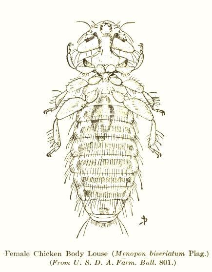 Menoponidae - Wikipedia   435 x 557 jpeg 43kB