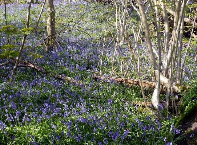 Bluebells at One Tree Hill near Sevenoaks - geograph.org.uk - 776717