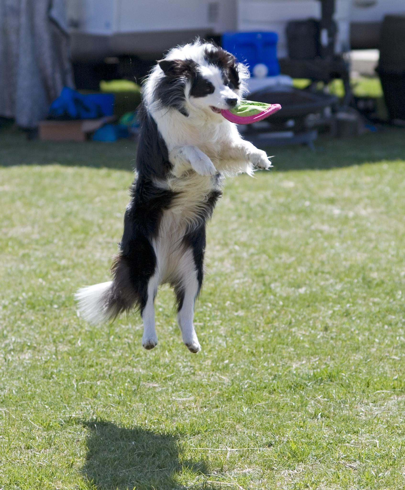 Frisbee Dog Training
