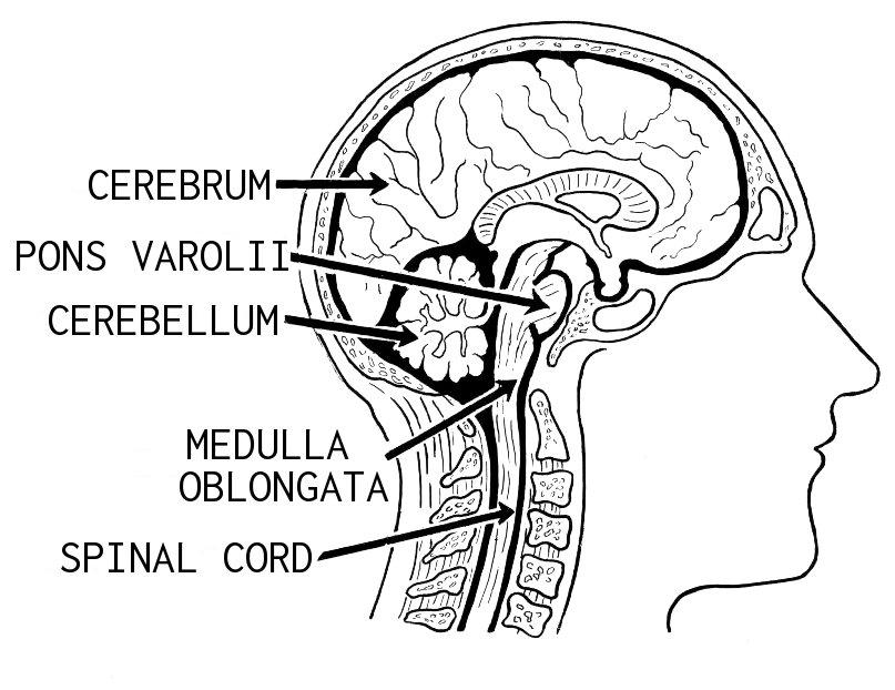 Brain (PSF).jpg