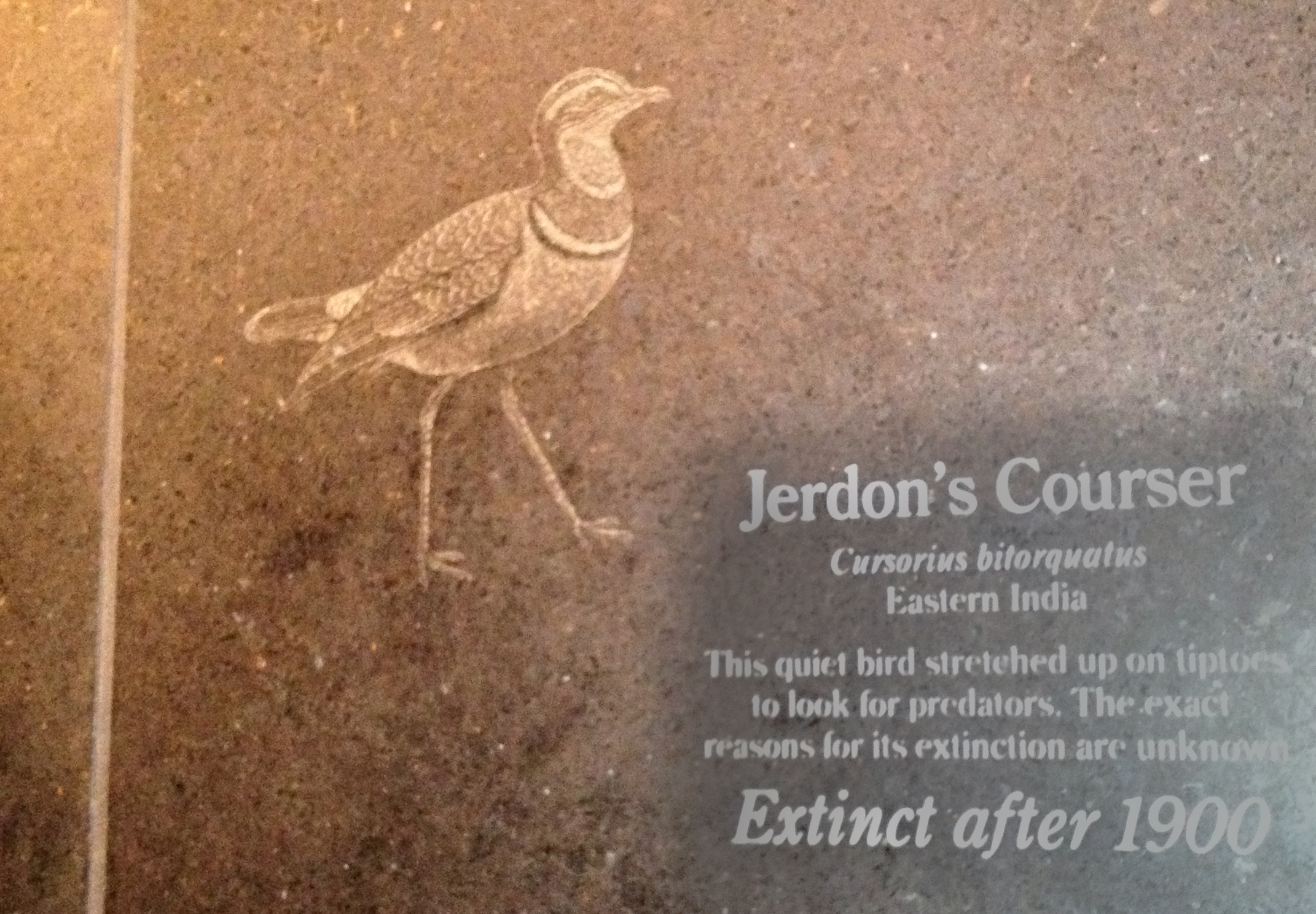 1488 meaning - File Bronx Zoo Jerdon S Courser Plank Jpg