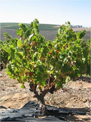 File bush vine wikimedia commons - Potatura vite uva da tavola ...