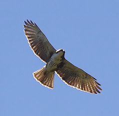 Description de l'image Buteo albigula.PNG.