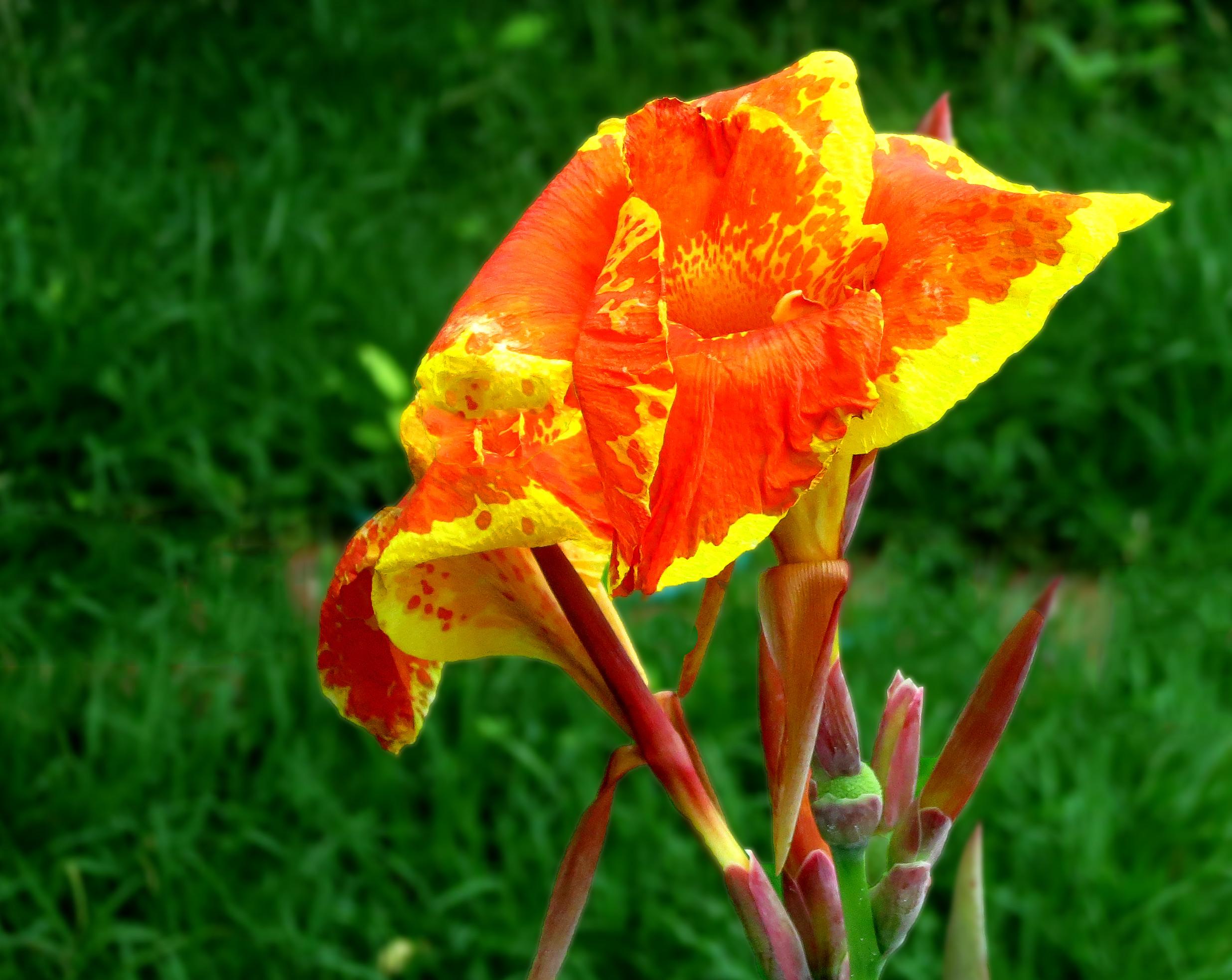 Canna (plant) Quiz