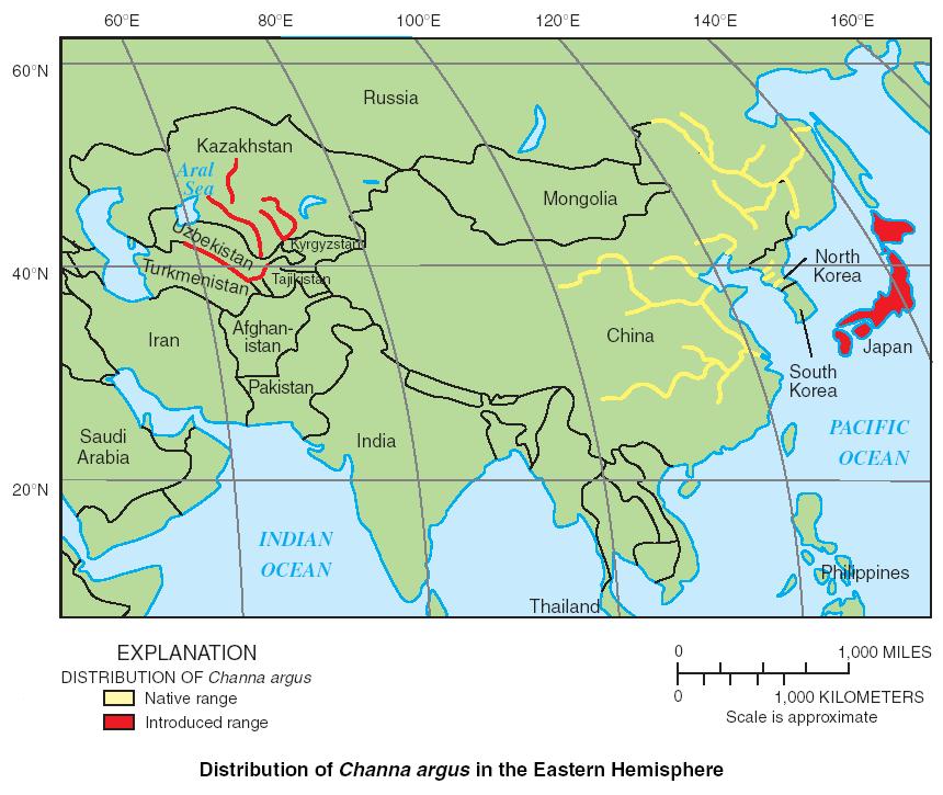 Northern Snakehead Wikipedia