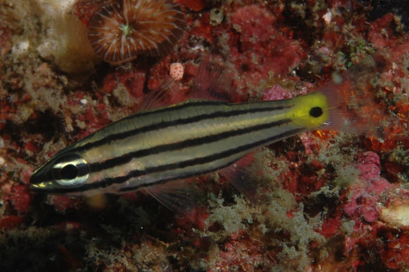 cheilodipterus quinquelineatus descriptive essay