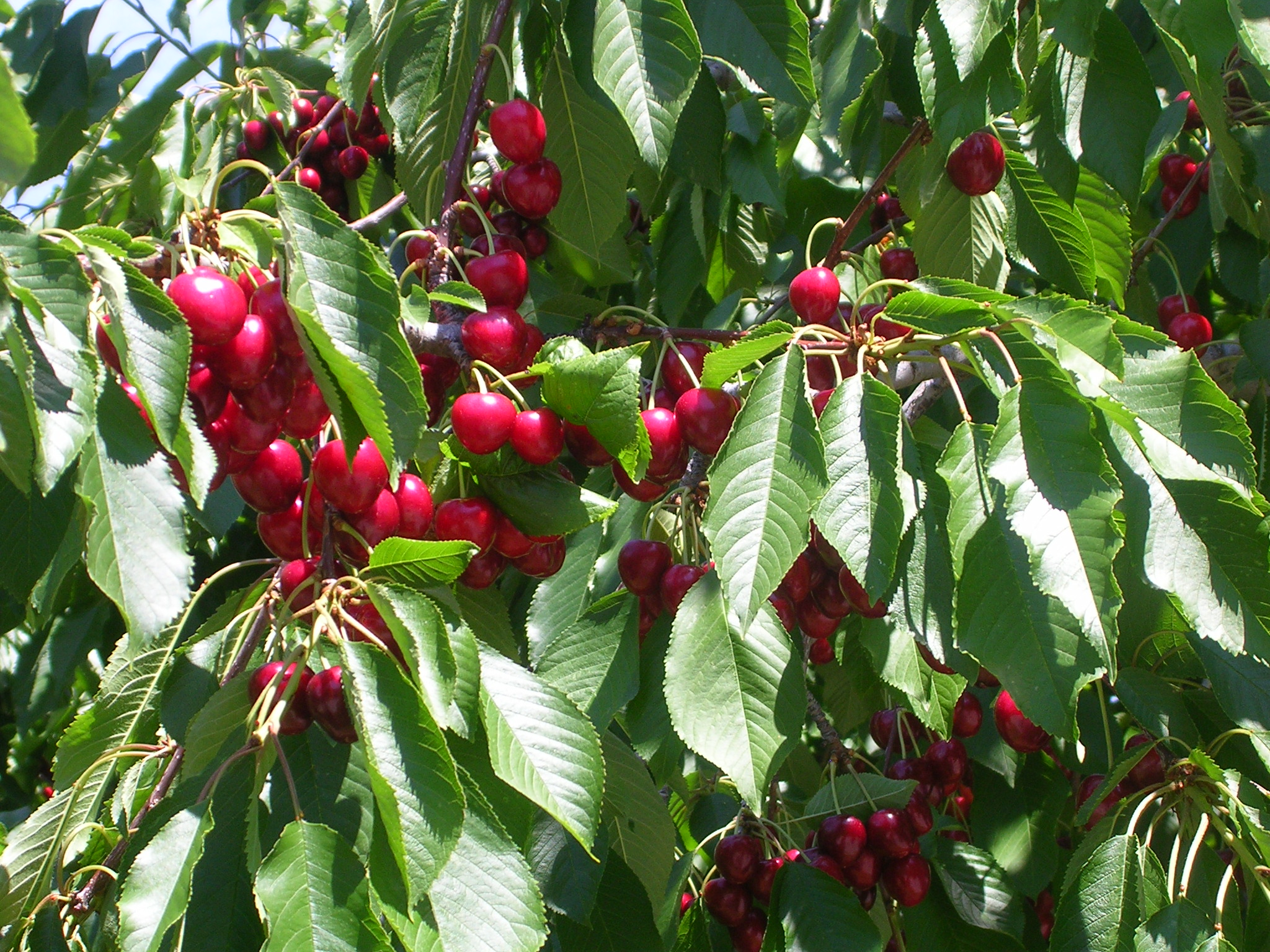 growing cherries in florida
