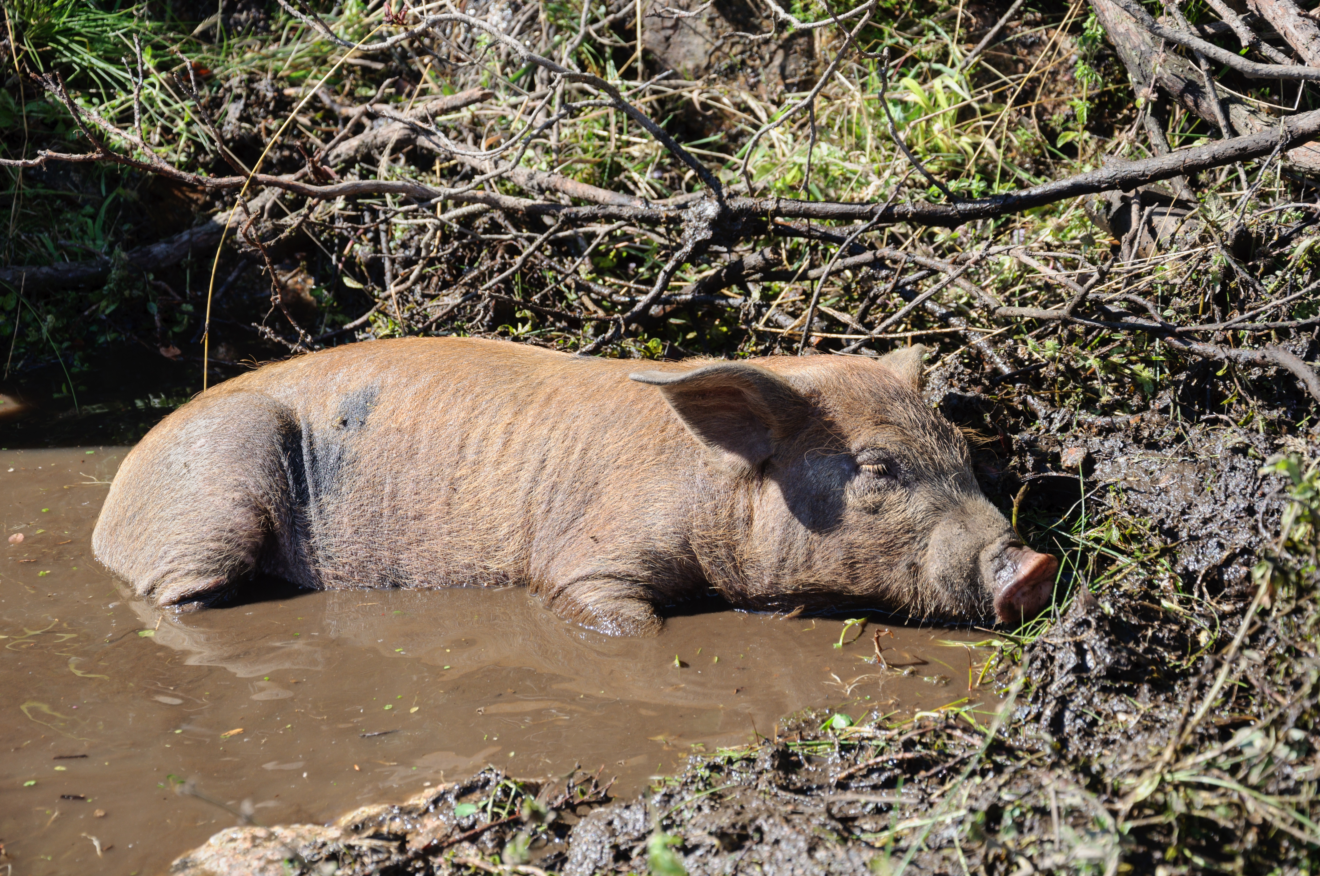 Hausschwein – Wikipedia
