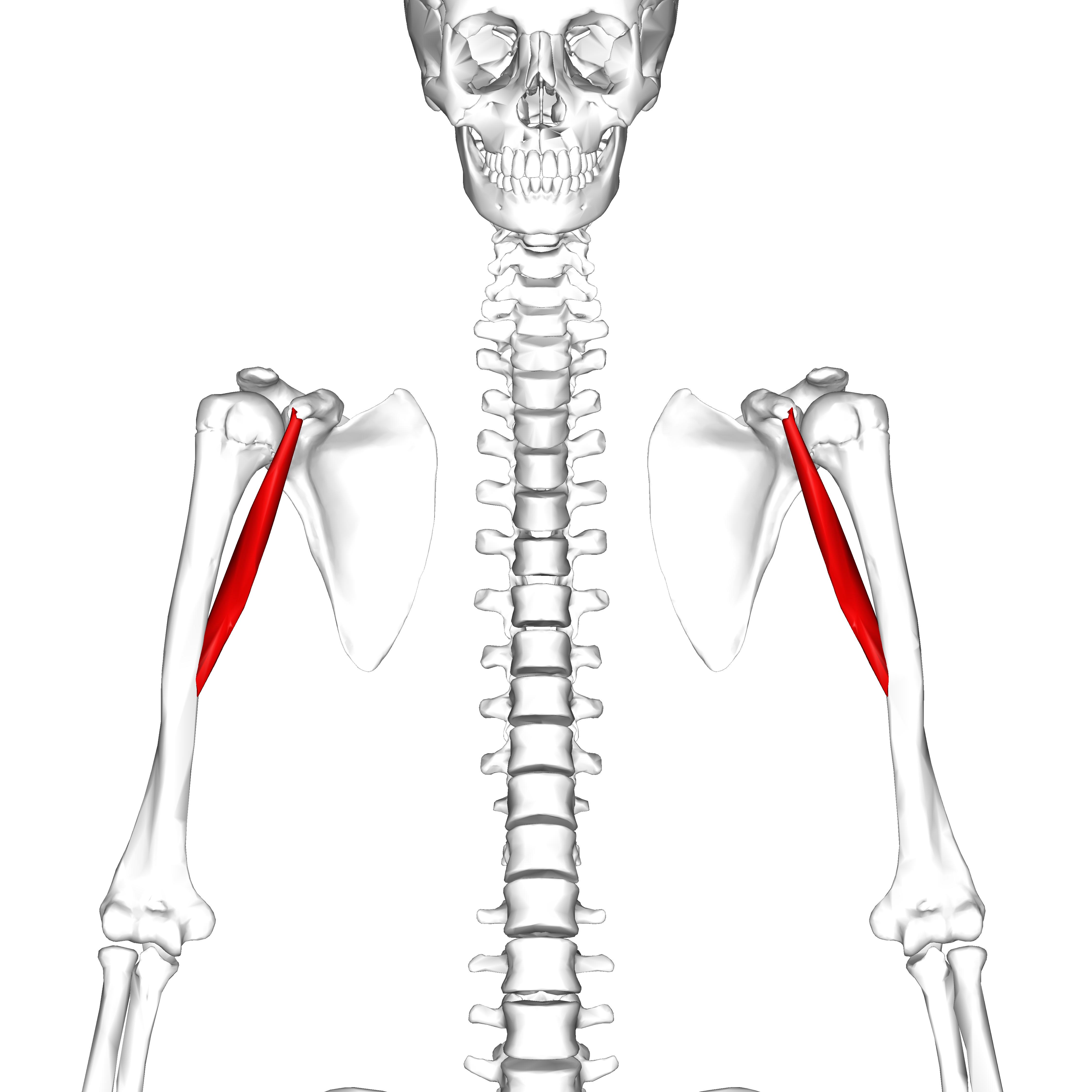 File:Coracobrachialis muscle10.png