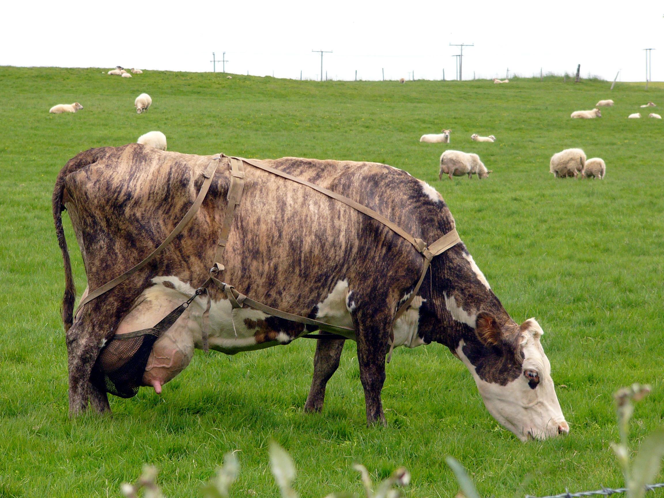 Description Cow in Iceland.jpg
