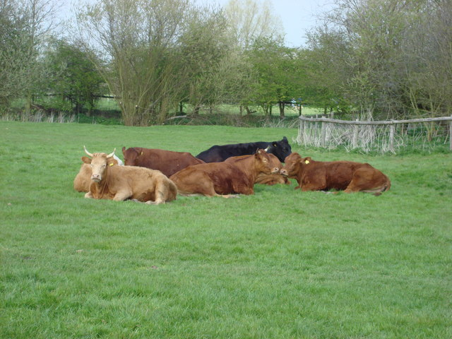 Cows grazing on Sudbury Common Lands - geograph.org.uk - 449193