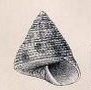 <i>Dactylastele burnupi</i> Species of gastropod