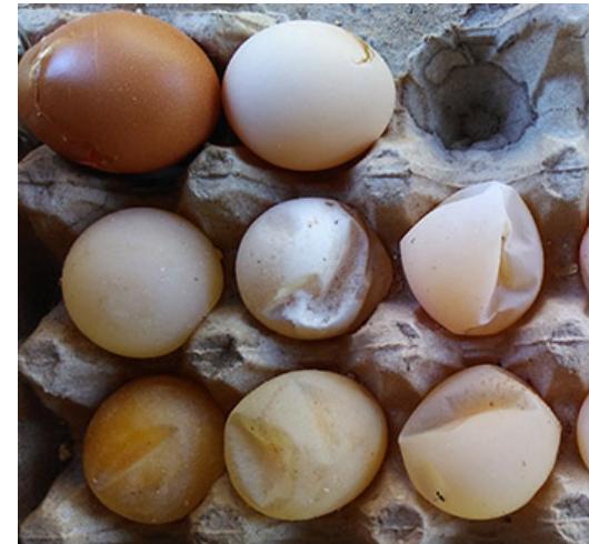 Egg drop syndrome - Wikipedia