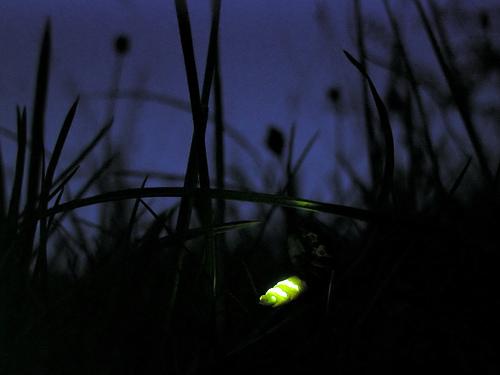 File:Glow worm lampyris noctiluca.jpg