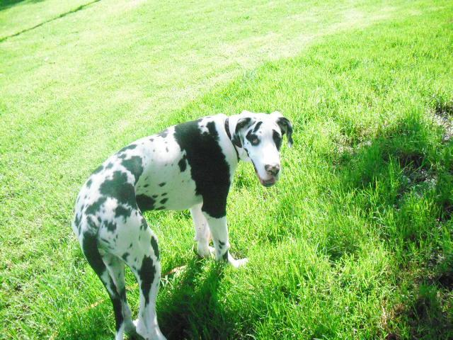 File:Harlequin Great Dane Puppy.jpg - Wikipedia, the free encyclopedia