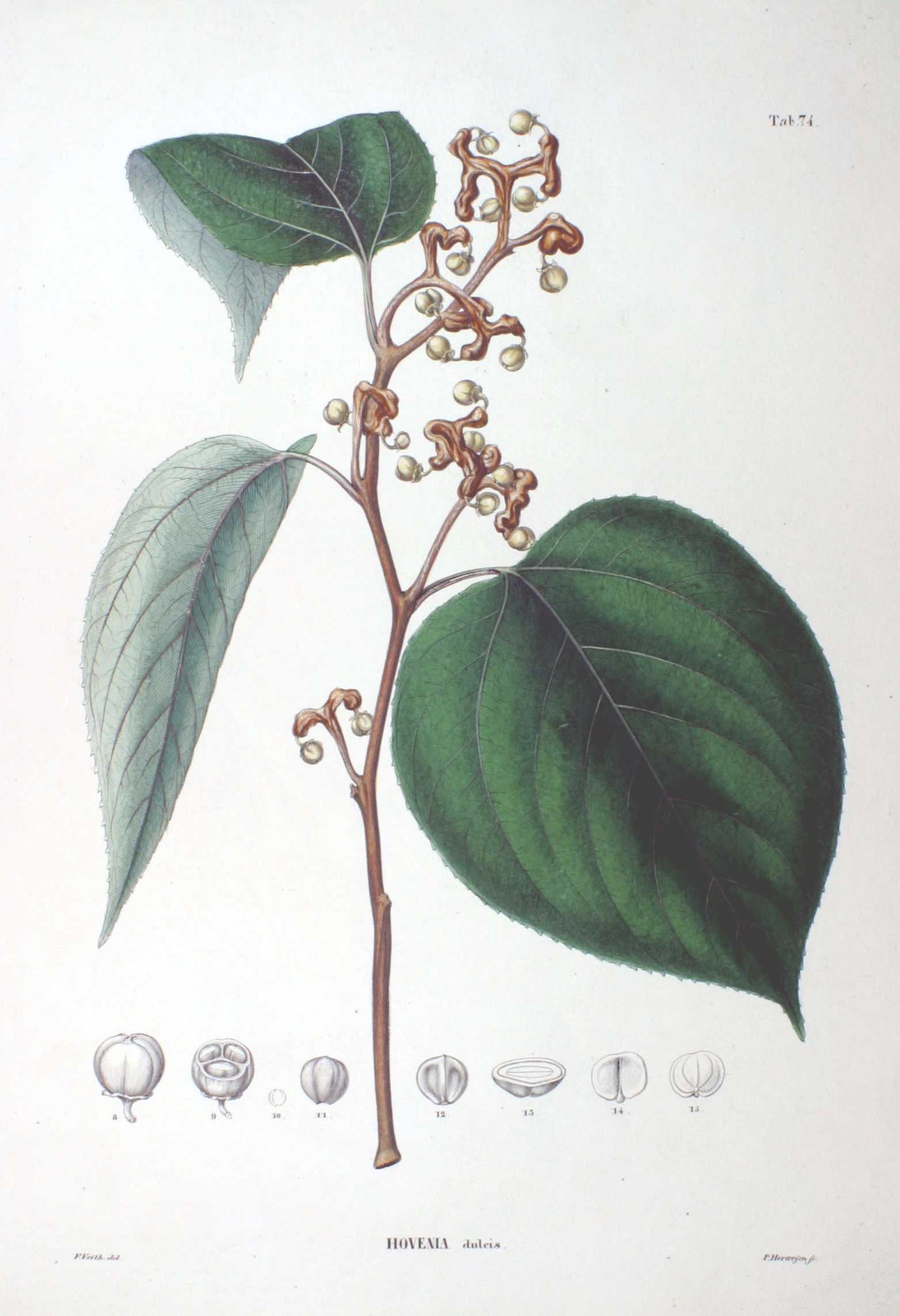 Hovenia Dulcis Leaves and Fruit Illustration