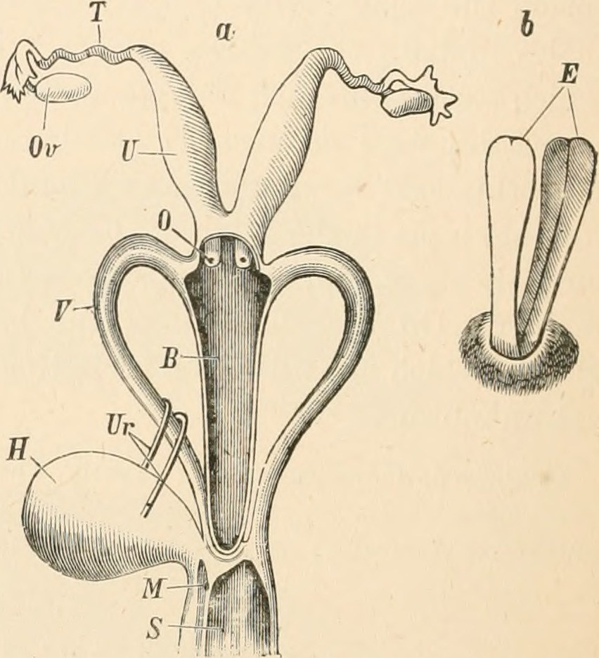 File Image From Page 305 Of Elementary Text Book Of Zoology 1884