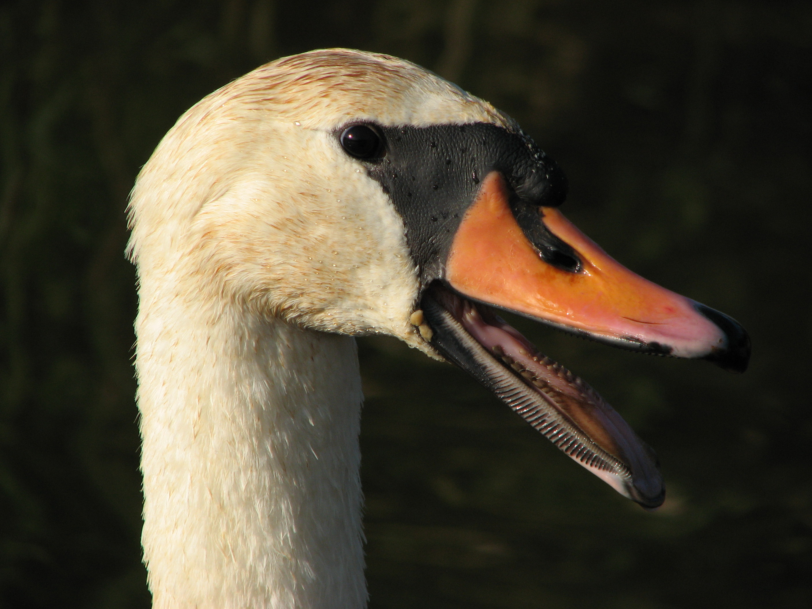 File Labut Samec Swan Male Zebetinsky Rybnik Jpg Wikimedia Commons But unlike other swans, they can lay multiple. https commons wikimedia org wiki file labu c5 a5 samec swan male c5 bdeb c4 9bt c3 adnsk c3 bd rybn c3 adk jpg