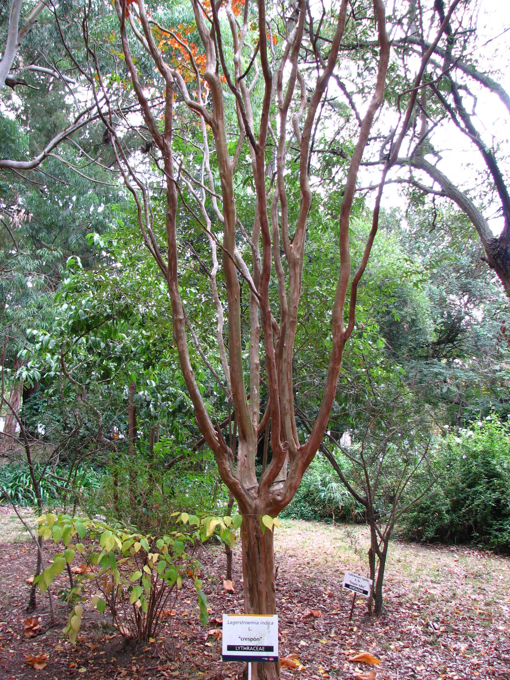 file lagerstroemia indica tree jpg wikimedia commons. Black Bedroom Furniture Sets. Home Design Ideas