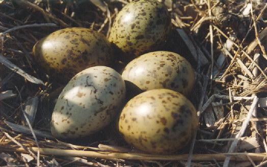 Čajka smejivá (lat. Chroicocephalus ridibundus) - vajíčka v hniezde
