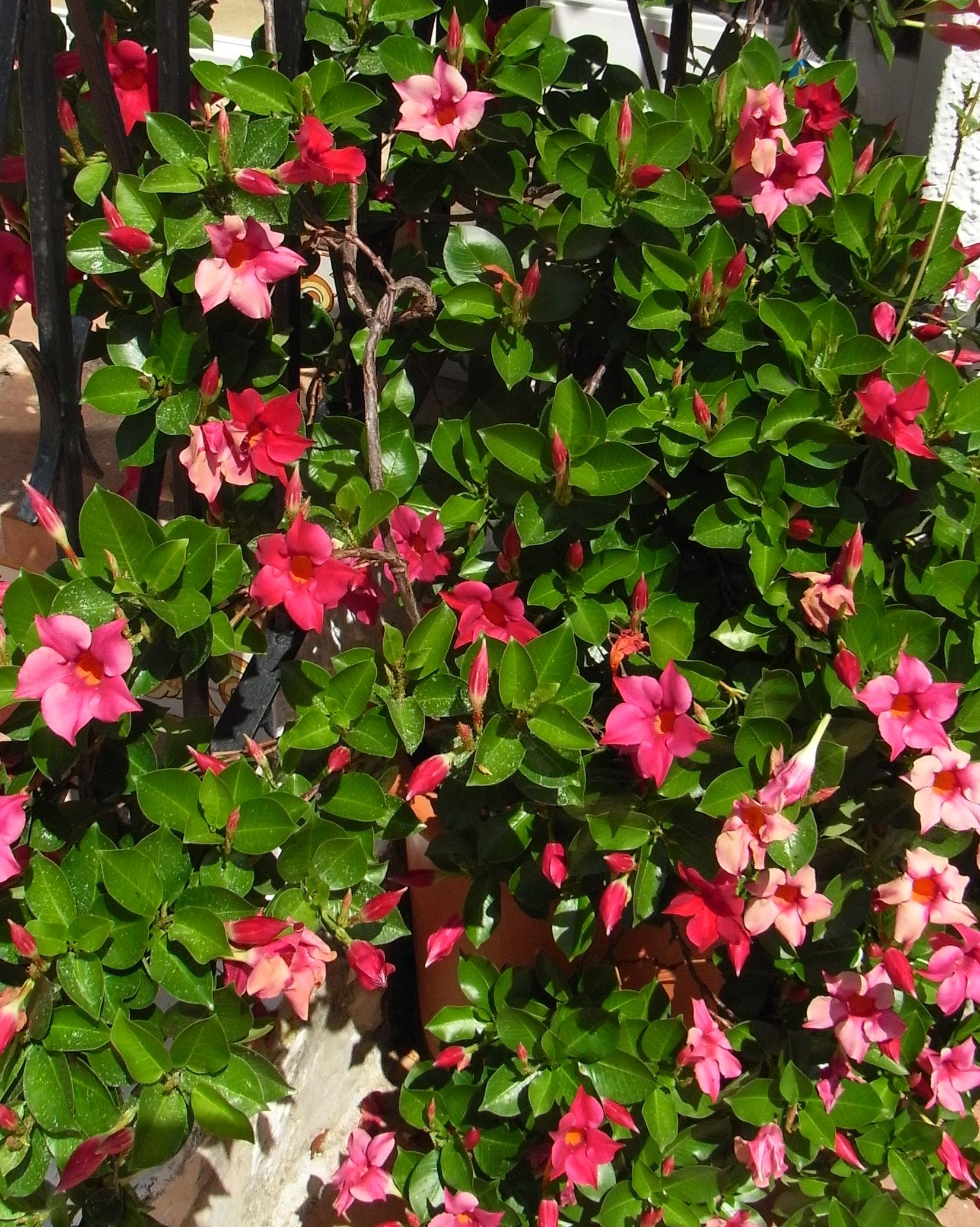 File mandevilla sanderi wikimedia commons for Dipladenia sanderi