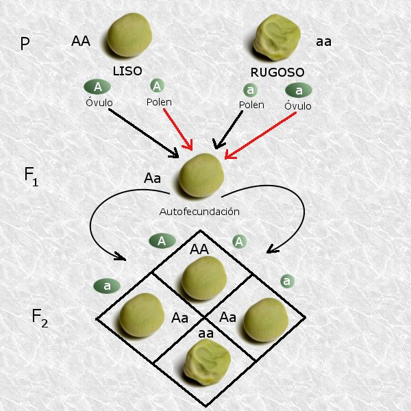 Leyes de Mendel - Wikipedia, la enciclopedia libre