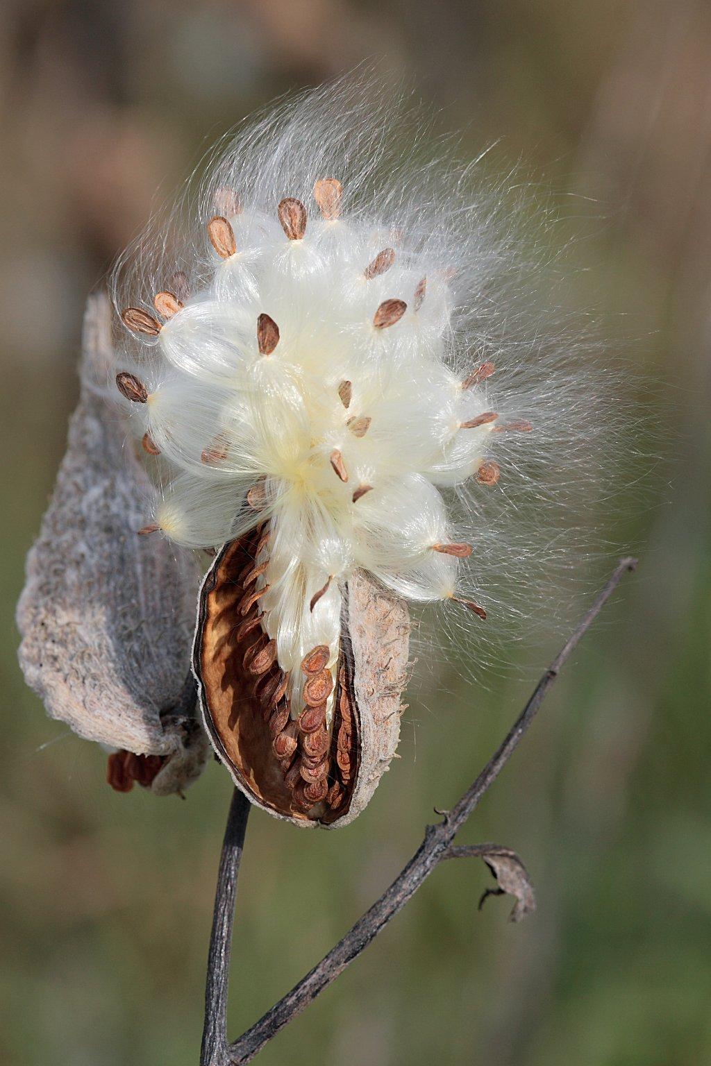 Seed Dispersal Milkweed-in-seed2