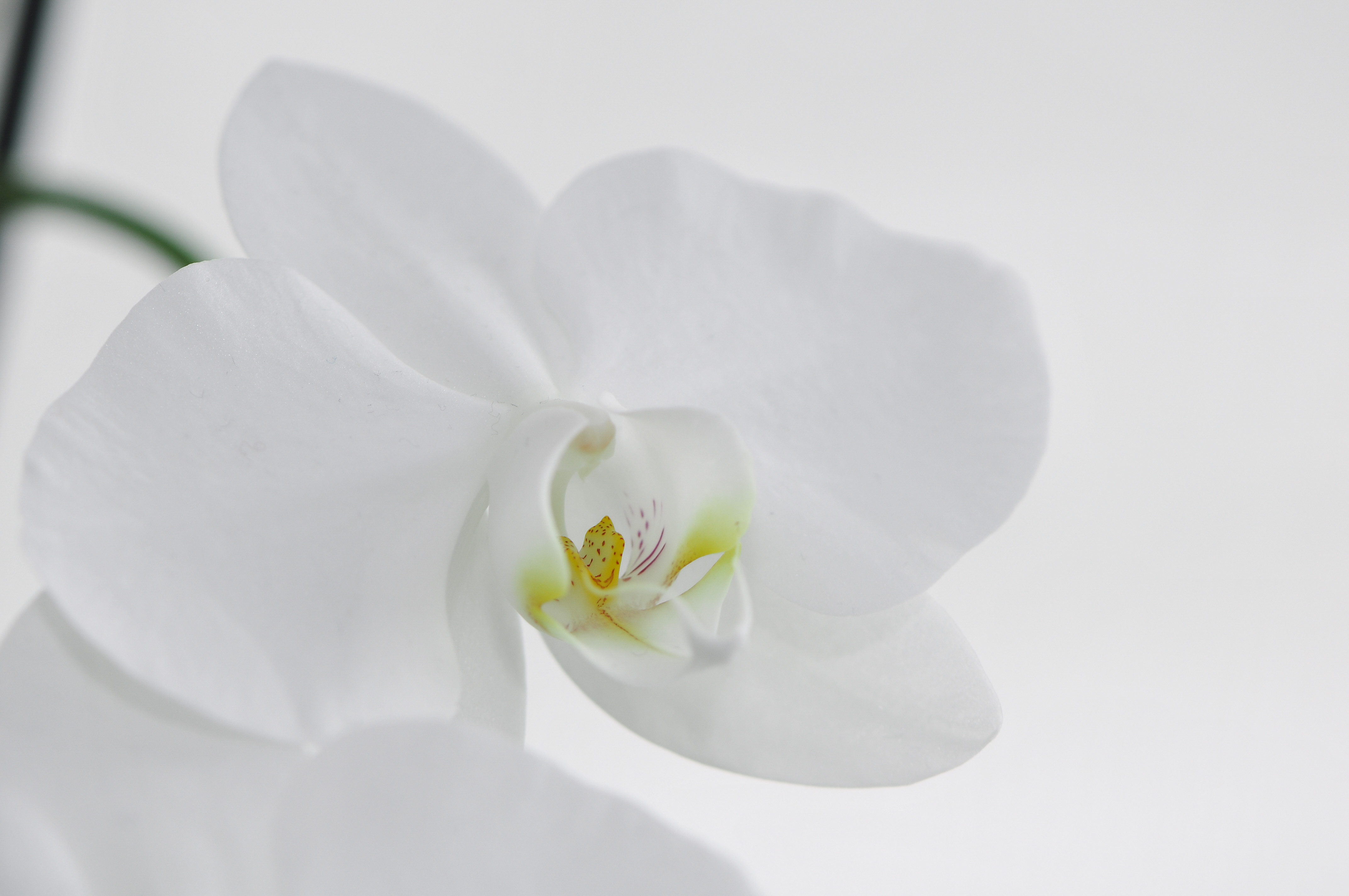 file nachtfalter orchidee phalaenopsis 06 jpg wikimedia. Black Bedroom Furniture Sets. Home Design Ideas