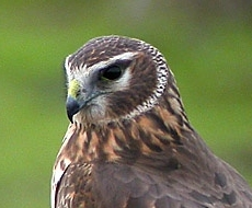 Northern Harrier cropped.jpg