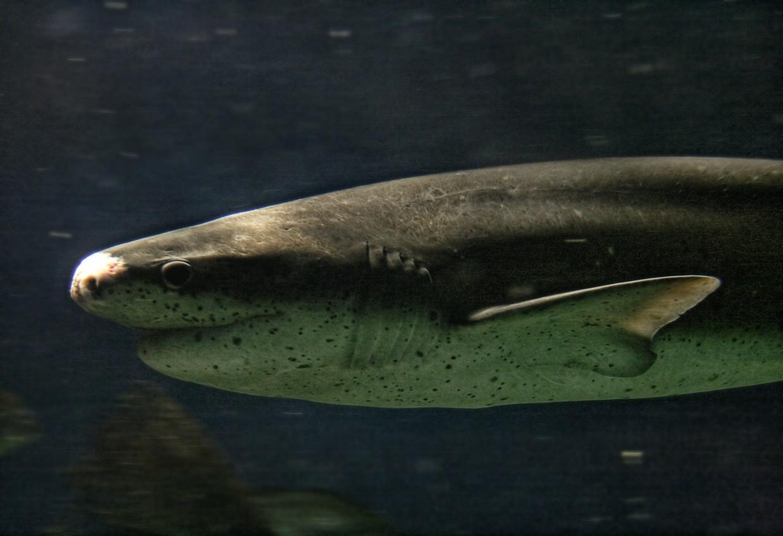 Common Name  Broadnose Sevengill SharkBroadnose Sevengill Shark