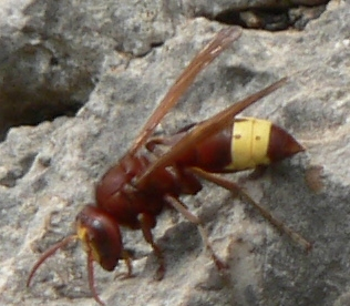 Red Hornet Insect